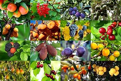 Con las frutas se puede hacer arte collage de rboles for Lista de arboles frutales de hoja perenne