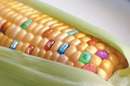 maiz transgénico