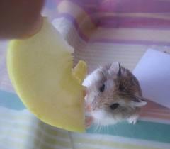 raton comiendo queso