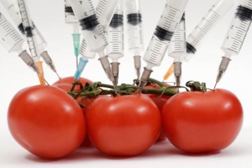 tomates transgénicos