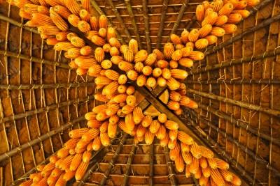 Cultivo de maiz colgando de un techo de madera