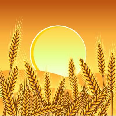 vector de sol sobre un campo de trigo