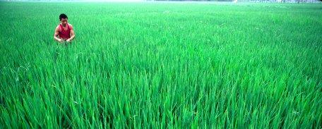 plantaciones de arroz en china
