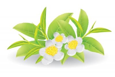planta de te verde