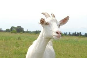 cabra en el campo