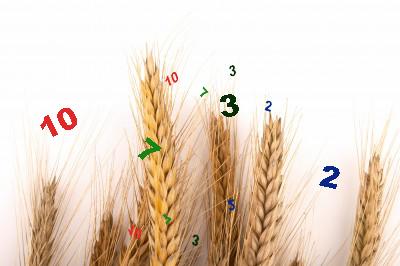 espigas de trigo con numeros