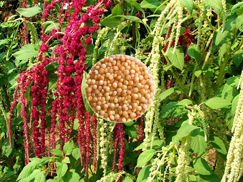 cultivar amaranthus